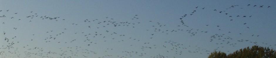 flocks of geese
